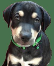 Portland Oregon Puppy Training Experts